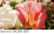 beautiful wet tulip flowers at garden. Стоковое видео, видеограф Syda Productions / Фотобанк Лори