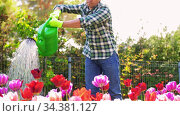 middle-aged man watering flowers at garden. Стоковое видео, видеограф Syda Productions / Фотобанк Лори