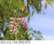 Акация розовая Робиния клейкая -Robinia Viscosa. Стоковое фото, фотограф Цветкова Елена / Фотобанк Лори