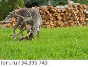 Reindeer (Rangifer tarandus) in finnish Lapland. Focus on muzzle and horns. Стоковое фото, фотограф Валерия Попова / Фотобанк Лори