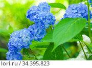 Голубая крупнолистная гортензия летом в саду. Стоковое фото, фотограф Natalia Sidorova / Фотобанк Лори