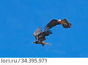 Two Bearded Vultures / Lammergeiers (Gypaetus barbatus). Immature male engaged in early courtship display with an adult female.  Valle de Puertolas, Spanish Pyrenees. Стоковое фото, фотограф Roger Powell / Nature Picture Library / Фотобанк Лори