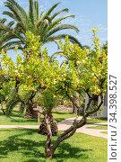 Zitronenbaum mit grossen Südfrüchten Zedratzitrone vor einer Palme. Стоковое фото, фотограф Zoonar.com/Alfred Hofer / easy Fotostock / Фотобанк Лори