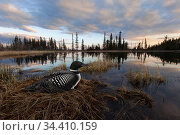 Common loon (Gavia immer) sits on her nest at sunset in the Cariboo region of British Columbia, Canada, taken with remote, May. Стоковое фото, фотограф Connor Stefanison / Nature Picture Library / Фотобанк Лори