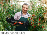 Man professional horticulturist picking harvest of tomatoes to crate in hothouse. Стоковое фото, фотограф Яков Филимонов / Фотобанк Лори