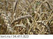 Пшеничный колос. Стоковое фото, фотограф Дмитрий Комаров / Фотобанк Лори