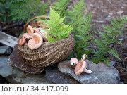 Полная корзина сырых грибов в лесу на фоне папоротников. Стоковое фото, фотограф Наталья Осипова / Фотобанк Лори