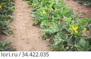 Rows of flowering bushes of organic zucchini ripening on farm field. Popular vegetable crop. Стоковое видео, видеограф Яков Филимонов / Фотобанк Лори