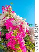 Beautiful big bougainvilleas branches full with pink and white blooming... Стоковое фото, фотограф Zoonar.com/Arthur Mustafa / easy Fotostock / Фотобанк Лори