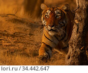 Bengal tiger (Panthera tigris) tigress 'Arrowhead' stalking, Ranthambhore, India. Стоковое фото, фотограф Andy Rouse / Nature Picture Library / Фотобанк Лори