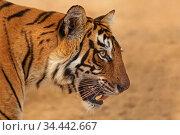Bengal tiger (Panthera tigris) tigress 'Arrowhead' head profile portrait. Ranthambhore, India. Стоковое фото, фотограф Andy Rouse / Nature Picture Library / Фотобанк Лори