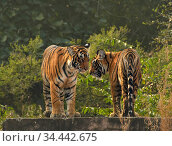 RF - Bengal tiger (Panthera tigris) cubs age 10 months, Ranthambhore... Стоковое фото, фотограф Andy Rouse / Nature Picture Library / Фотобанк Лори