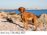 Hungarian vizsla male standing on shell beach, Long Island Sound beach, Madison, Connecticut, USA. December. Стоковое фото, фотограф Lynn M. Stone / Nature Picture Library / Фотобанк Лори