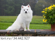 American Eskimo dog sitting, Connecticut, USA. October. Стоковое фото, фотограф Lynn M. Stone / Nature Picture Library / Фотобанк Лори