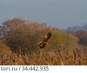 Marsh harrier (Circus aeruginosus) in flight, Ham Wall RSPB Reserve, Somerset, England, UK, December. Стоковое фото, фотограф Mike Read / Nature Picture Library / Фотобанк Лори