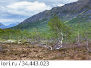 Bushes of dwarf birches or Betula nana are in tundra and mountains, the Kola peninsula, Khibiny massif, Russia. Cold spring season. Стоковое фото, фотограф Кекяляйнен Андрей / Фотобанк Лори