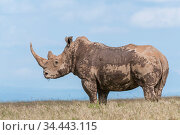 White rhinoceros (Ceratotherium simum) covered in mud, Solio Game Reserve, Laikipia, Kenya. September. Стоковое фото, фотограф Tui De Roy / Nature Picture Library / Фотобанк Лори