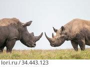 Black rhino (Diceros bicornis) and White Rhino (Ceratotherium simum... Стоковое фото, фотограф Tui De Roy / Nature Picture Library / Фотобанк Лори