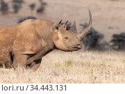Black rhino (Diceros bicornis) with very long horn, Lewa Wildlife... Стоковое фото, фотограф Tui De Roy / Nature Picture Library / Фотобанк Лори