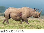 Black rhino (Diceros bicornis) female with wounds, Solio Game Reserve, Laikipia, Kenya. September. Стоковое фото, фотограф Tui De Roy / Nature Picture Library / Фотобанк Лори