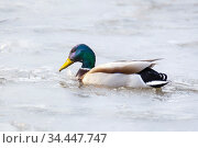 A drake swims in a frozen lake on a sunny day. Стоковое фото, фотограф Акиньшин Владимир / Фотобанк Лори