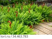 Flowering plants fern cultivated in modern orangery. Стоковое фото, фотограф Яков Филимонов / Фотобанк Лори