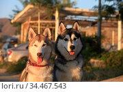 Portrait two mammal race dogs purebred husky on the street. Стоковое фото, фотограф Яна Королёва / Фотобанк Лори