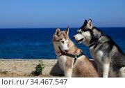 Portrait two mammal race dogs purebred husky by the sea. Стоковое фото, фотограф Яна Королёва / Фотобанк Лори