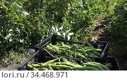 Freshly harvested green bean pods in plastic boxes on farm plantation in sunny spring day. Стоковое видео, видеограф Яков Филимонов / Фотобанк Лори