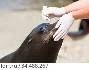 Adult sealion being treated (eye) by a veterinarian. Стоковое фото, фотограф Zoonar.com/Micha Klootwijk / age Fotostock / Фотобанк Лори