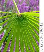 Palmwedel, wedel, palme, blatt, Blattstrukturen, Blattstruktur, blatt... Стоковое фото, фотограф Zoonar.com/Volker Rauch / easy Fotostock / Фотобанк Лори