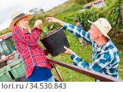 Zwei Erntehelfer bei Traubenlese im Weinberg ernten rote Weintrauben... Стоковое фото, фотограф Zoonar.com/Robert Kneschke / age Fotostock / Фотобанк Лори