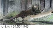 Funny Eurasian otter (Lutra lutra) on shore (focus on muzzle) Стоковое фото, фотограф Валерия Попова / Фотобанк Лори