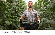 Successful farmer hand harvesting crop of ripe cucumbers in large greenhouse in springtime. Стоковое видео, видеограф Яков Филимонов / Фотобанк Лори