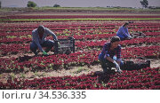 Team of workers harvests red lettuce on the field. Стоковое видео, видеограф Яков Филимонов / Фотобанк Лори