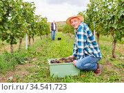 Erntehelfer im Weinberg bei der Traubenlese mit einer Kiste voll ... Стоковое фото, фотограф Zoonar.com/Robert Kneschke / age Fotostock / Фотобанк Лори