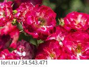 Rosa 'Never Alone-Jamais Seul' - Shrub Roses, Quebec, Canada. Стоковое фото, фотограф Perry Mastrovito / age Fotostock / Фотобанк Лори