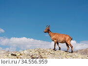 Young female alpine Capra ibex on the high rocks stone in Dombay mountains... Стоковое фото, фотограф Zoonar.com/Ian Iankovskii / easy Fotostock / Фотобанк Лори
