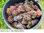 Eimer voll mit roten Weintrauben bei der Weinernte im Weinberg. Стоковое фото, фотограф Zoonar.com/Robert Kneschke / age Fotostock / Фотобанк Лори
