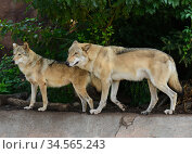 Couple of Eurasian wolves (Canis lupus lupus) in forest. Стоковое фото, фотограф Валерия Попова / Фотобанк Лори