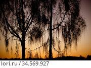 Weepinmg trees near Uluru at sunset in the Northern Territory, Australia... Стоковое фото, фотограф Zoonar.com/Chris Putnam / easy Fotostock / Фотобанк Лори