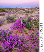 Sand verbena (Abronia villosa) and Desert lily (Hesperocallis Undulata) flowering on Mowhawk Dunes at dusk, under full moon. Barry M Goldwater Air Force Range, Arizona, USA. March 2020. Стоковое фото, фотограф Jack Dykinga / Nature Picture Library / Фотобанк Лори