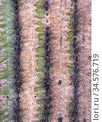 Saguaro cactus (Carnegiea gigantea), close up of stem weathered by harsh scalding sunlight. Cabeza Prieta National Wildlife Refuge, Arizona, USA. March. Стоковое фото, фотограф Jack Dykinga / Nature Picture Library / Фотобанк Лори