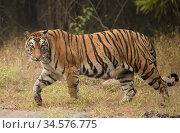 Bengal tiger (Panthera tigris tigris) profile walking, looking for prey. Bandhavgarh National Park, India, December. Стоковое фото, фотограф Danny Green / Nature Picture Library / Фотобанк Лори