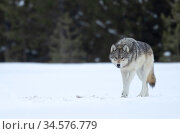 Wolf (Canis lupus) walking in snow, at woodland edge. Yellowstone National Park, USA. January. Стоковое фото, фотограф Danny Green / Nature Picture Library / Фотобанк Лори