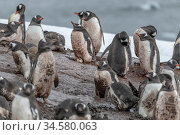 Gentoo penguin (Pygoscelis papua) breeding colony including individual incubating egg. Penguins covered in mud. Mikkelsen Harbor, Antarctic Peninsula, Antarctica. December. Стоковое фото, фотограф Doug Gimesy / Nature Picture Library / Фотобанк Лори