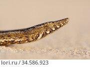Burton's snake-lizard(Lialis burtonis) on sand, portrait. Edel Land National Park (proposed), Shark Bay, Western Australia. October. Стоковое фото, фотограф Bert Willaert / Nature Picture Library / Фотобанк Лори