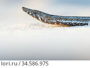 Burton's snake-lizard(Lialis burtonis) portrait. Edel Land National Park (proposed), Shark Bay, Western Australia. October. Стоковое фото, фотограф Bert Willaert / Nature Picture Library / Фотобанк Лори