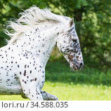 Knabstrupper stallion with leopard spotting colouration running, portrait. Germany. Стоковое фото, фотограф Carol Walker / Nature Picture Library / Фотобанк Лори