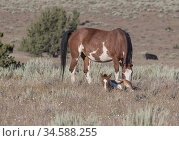 Mustang mare and foal with skewbald colouration. South Steens Wild Horse Herd, Oregon, USA. June. Стоковое фото, фотограф Carol Walker / Nature Picture Library / Фотобанк Лори